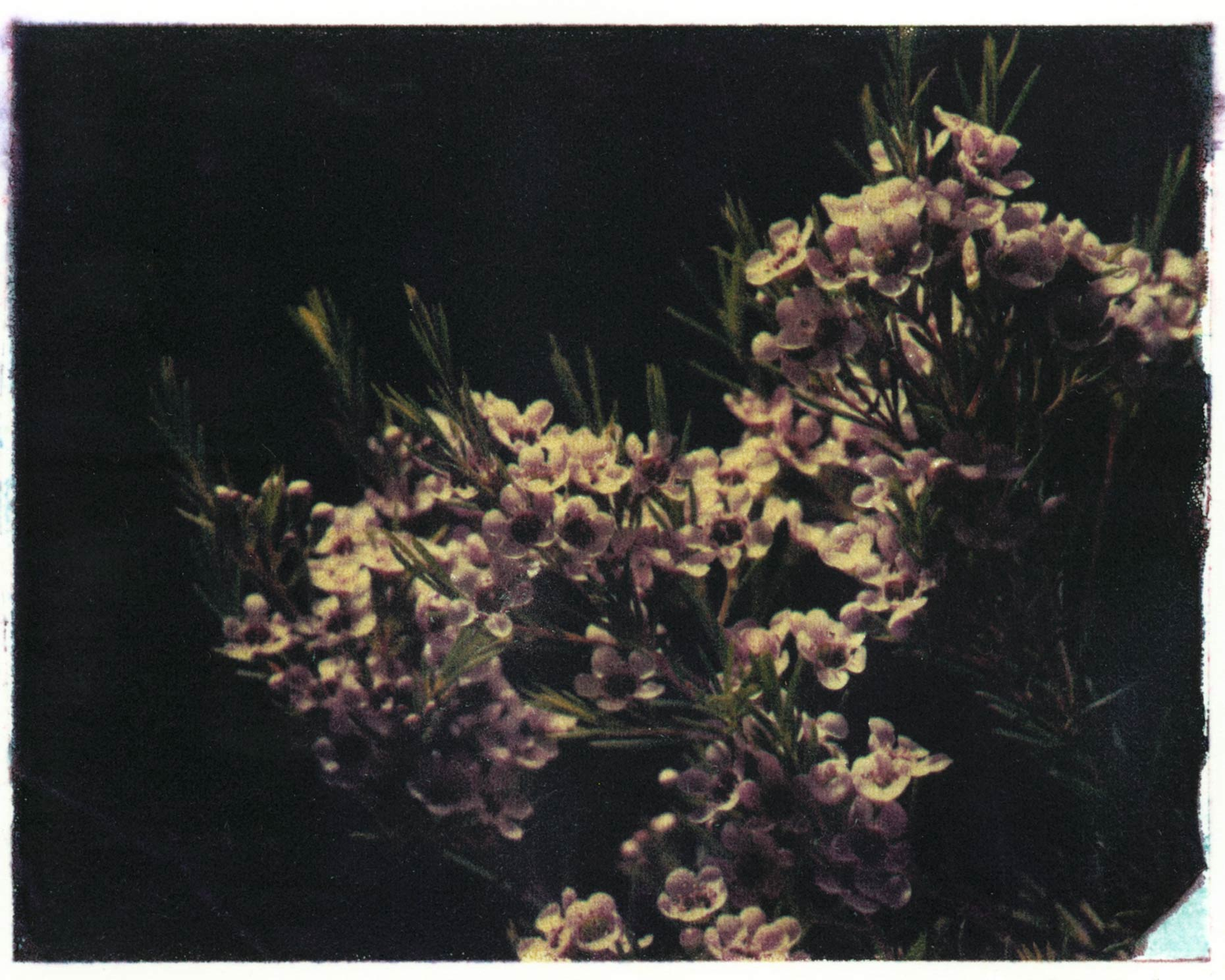 Polaroid Transfer of a Wax Flower. Personal Photography. Bob Polett Photography Lancaster PA